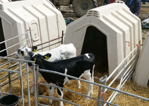 Pair rearing dairy calves in large calf hutch